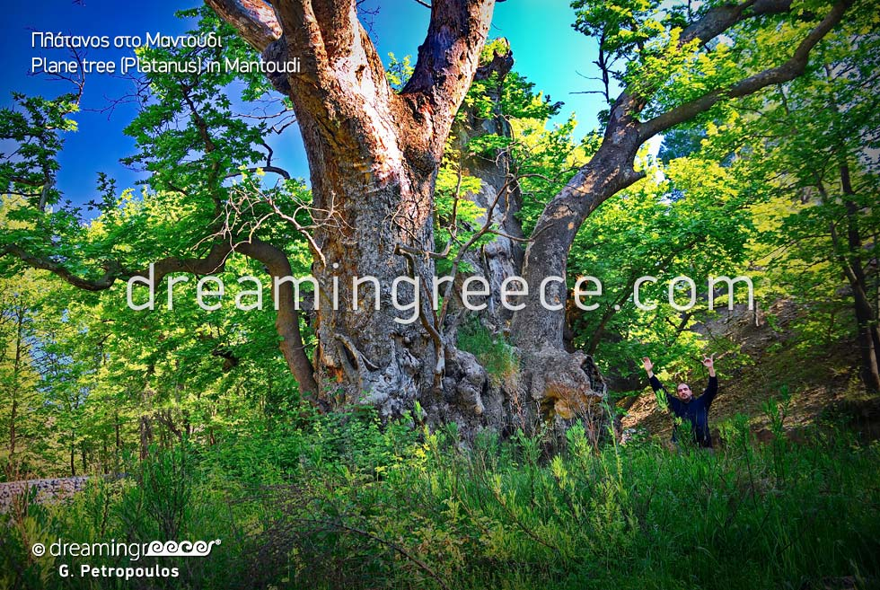 Tree Platanus in Mantoudi. Travel Guide of North Evia Greece