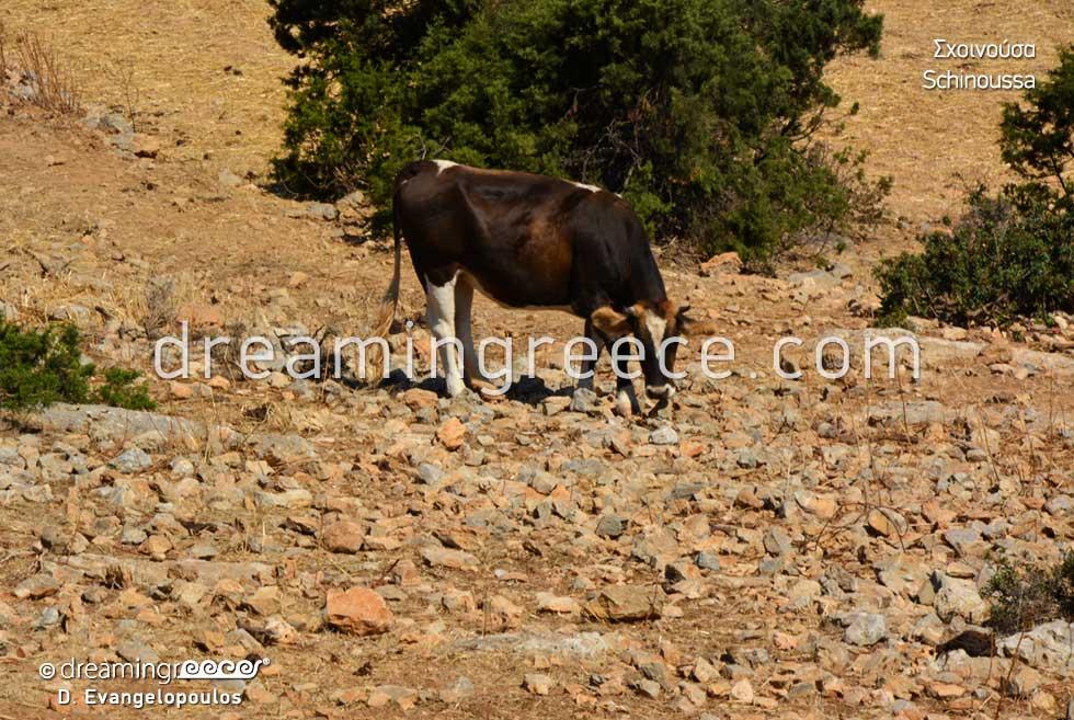 Schinoussa island Small Cyclades. Visit Greece
