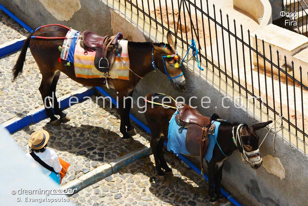 Donkeys in Fira Santorini. Explore Greece